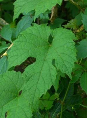 Виноград лисий Лист