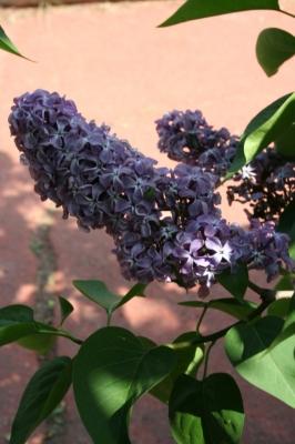 Семейство Oleaceae-Маслинные Syringa vulgaris hort cv. Партизанка