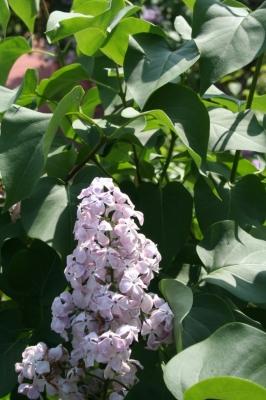 Семейство Oleaceae-Маслинные Syringa vulgaris hort cv. Гортензия