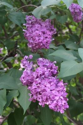 Семейство Oleaceae-Маслинные Syringa vulgaris hort cv. Индия