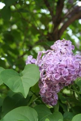 Семейство Oleaceae-Маслинные Syringa vulgaris hort cv. Сумерки