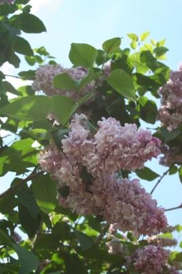 Семейство Oleaceae-Маслинные Syringa vulgaris hort cv. Великая Победа