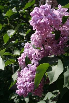 Семейство Oleaceae-Маслинные Syringa vulgaris hort cv. Дочь Тамара