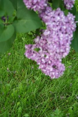 Семейство Oleaceae-Маслинные Syringa vulgaris hort cv. Огни Донбасса
