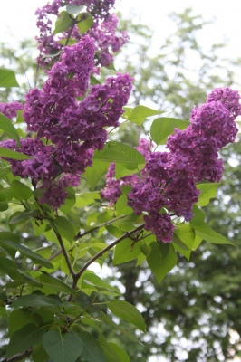 Семейство Oleaceae-Маслинные Syringa vulgaris hort cv. Красная Москва