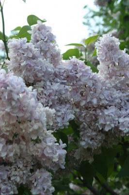 Семейство Oleaceae-Маслинные Syringa vulgaris hort cv. Маршал Василевский
