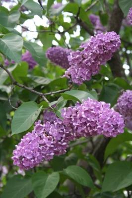 Семейство Oleaceae-Маслинные Syringa vulgaris hort cv. Леонид Леонов