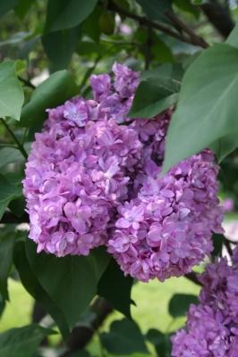Семейство Oleaceae-Маслинные Syringa vulgaris hort cv. Память о Вехове