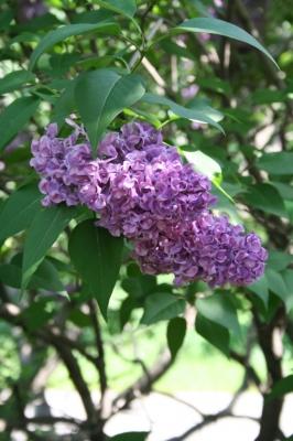 Семейство Oleaceae-Маслинные Syringa vulgaris hort cv. Monge