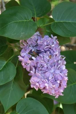 Семейство Oleaceae-Маслинные Syringa vulgaris hort cv. Violetta