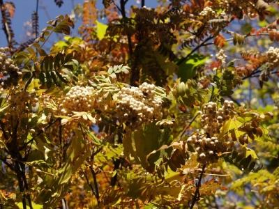 Рябина Кёне Плоды и листья