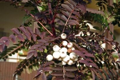 Рябина кашмирская Осенняя окраска