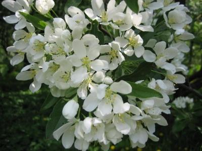 Яблоня хубейская Цветение