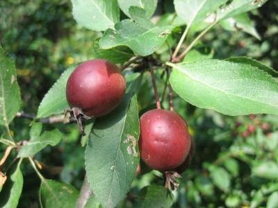 Яблоня вишнеплодная Плоды