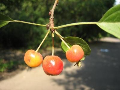 Яблоня шейдекера Плоды