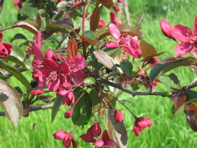 Яблоня Недзвецкого Цветение