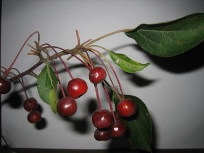 Яблоня хубейская
