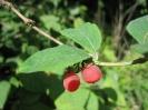 Жимолость Раннецветущая Плоды