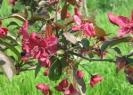 Яблоня Недзведского Цветение