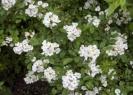 Роза многоцветковая Общий вид
