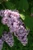 Семейство Oleaceae-Маслинные Syringa vulgaris hort cv. Павлинка