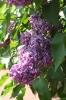 Семейство Oleaceae-Маслинные Syringa vulgaris hort cv. Минчанка