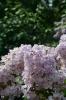 Семейство Oleaceae-Маслинные Syringa vulgaris hort cv. Полтава
