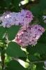 Семейство Oleaceae-Маслинные Syringa vulgaris hort cv. Мечта