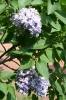 Семейство Oleaceae-Маслинные Syringa vulgaris hort cv. Надежда