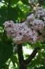 Семейство Oleaceae-Маслинные Syringa vulgaris hort cv. Мулатка