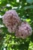 Семейство Oleaceae-Маслинные Syringa vulgaris hort cv. Белая ночь