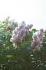 Семейство Oleaceae-Маслинные Syringa vulgaris hort cv. Небо Москвы
