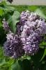 Семейство Oleaceae-Маслинные Syringa vulgaris hort cv. Капитан Гастелло