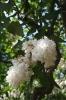 Семейство Oleaceae-Маслинные Syringa vulgaris hort cv. Советская Арктика