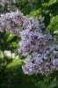 Семейство Oleaceae-Маслинные Syringa vulgaris hort cv. Памяти Вавилова