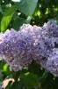 Семейство Oleaceae-Маслинные Syringa vulgaris hort cv. Константин Заслонов