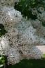 Семейство Oleaceae-Маслинные Syringa vulgaris hort cv. Снежный ком