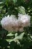 Семейство Oleaceae-Маслинные Syringa vulgaris hort cv. Красавица Москвы
