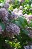 Семейство Oleaceae-Маслинные Syringa vulgaris hort cv. Алексей Маресьев