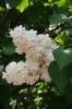 Семейство Oleaceae-Маслинные Syringa vulgaris hort cv. Защитник Бреста