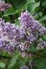 Семейство Oleaceae-Маслинные Syringa vulgaris hort cv. Леонид Колесников
