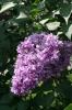 Семейство Oleaceae-Маслинные Syringa vulgaris hort cv. Утро России