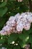 Семейство Oleaceae-Маслинные Syringa vulgaris hort cv. Ami Schott