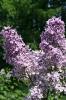 Семейство Oleaceae-Маслинные Syringa vulgaris hort cv. Cенсация