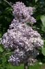 Семейство Oleaceae-Маслинные Syringa vulgaris hort cv. Capitaine Baltet