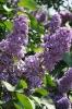 Семейство Oleaceae-Маслинные Syringa vulgaris hort cv. Cavour