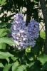 Семейство Oleaceae-Маслинные Syringa vulgaris hort cv. Christophe Colomb