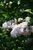 Семейство Oleaceae-Маслинные Syringa vulgaris hort cv. Condorset