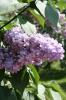 Семейство Oleaceae-Маслинные Syringa vulgaris hort cv. Duc de Massa