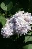 Семейство Oleaceae-Маслинные Syringa vulgaris hort cv. Emile Gentil